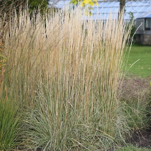 16-calamagrostis-acutifl-overdam