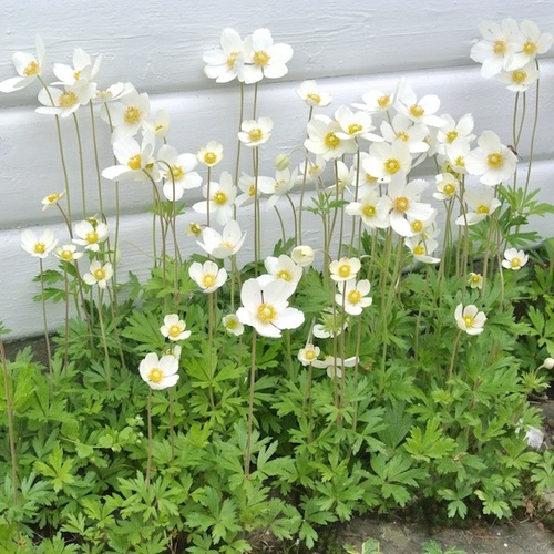 3-anemone-sylvestris_1