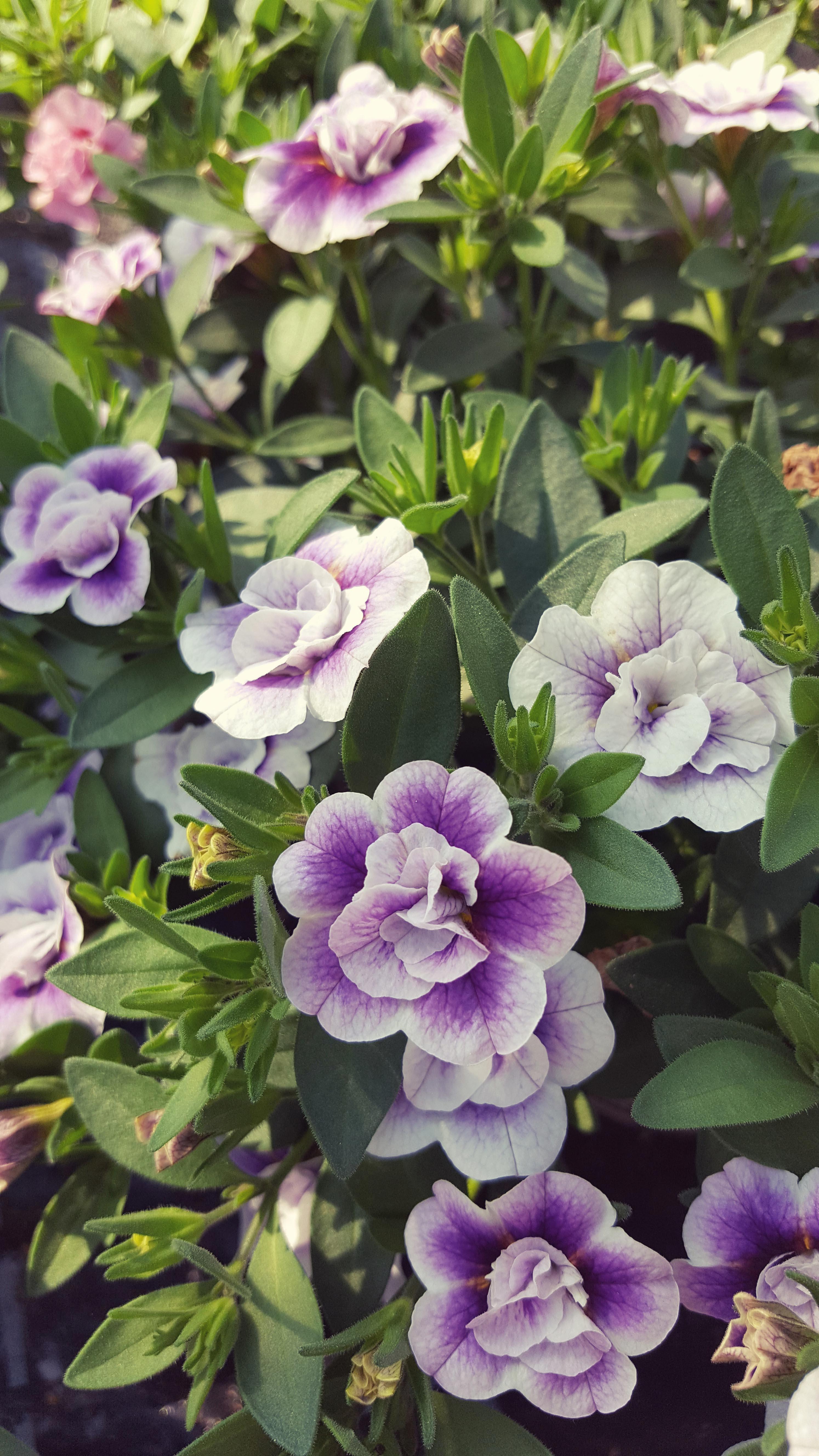 Småpetunia Blomsterfrämjandet