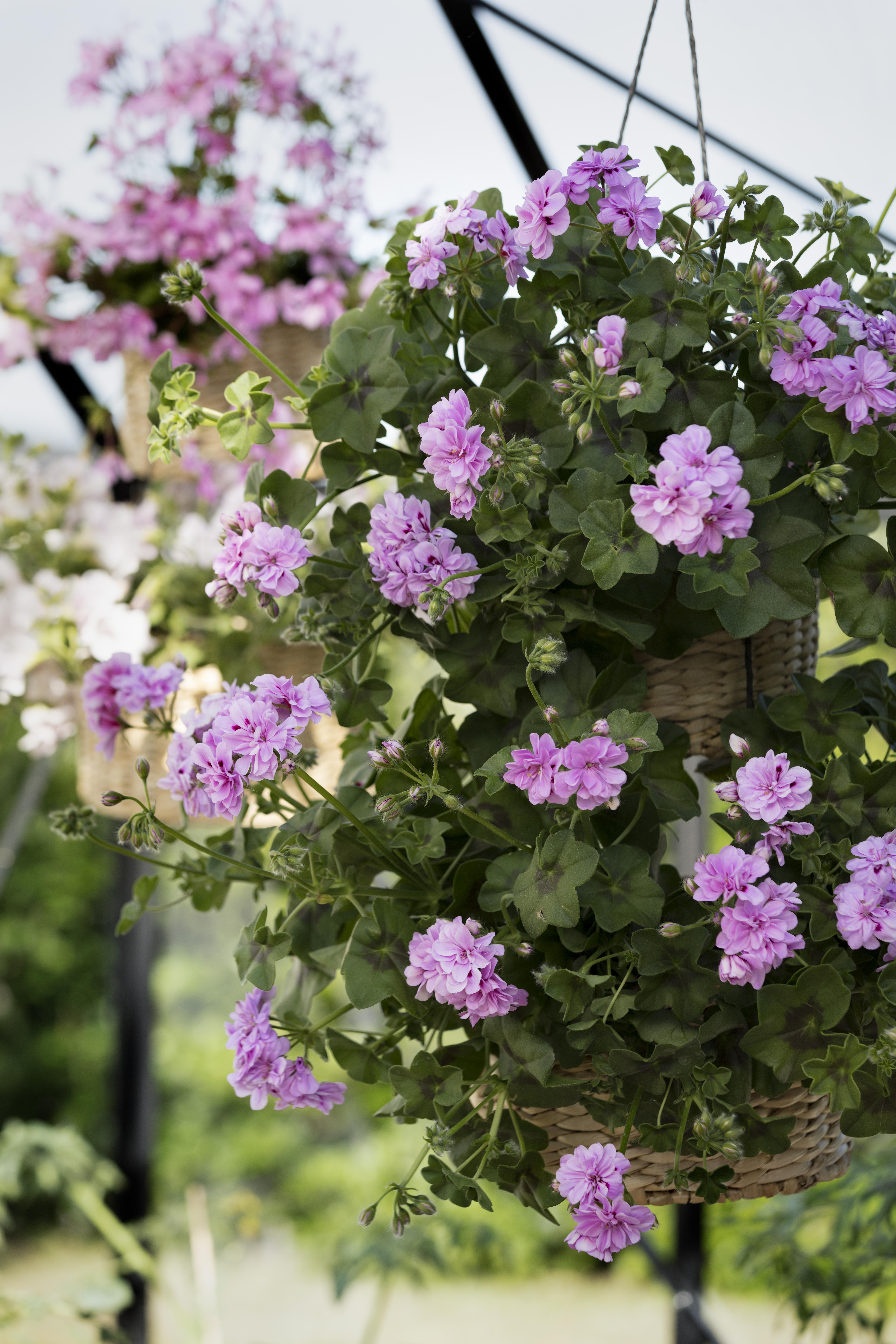 Hängpelargon Blomsterfrämjandet