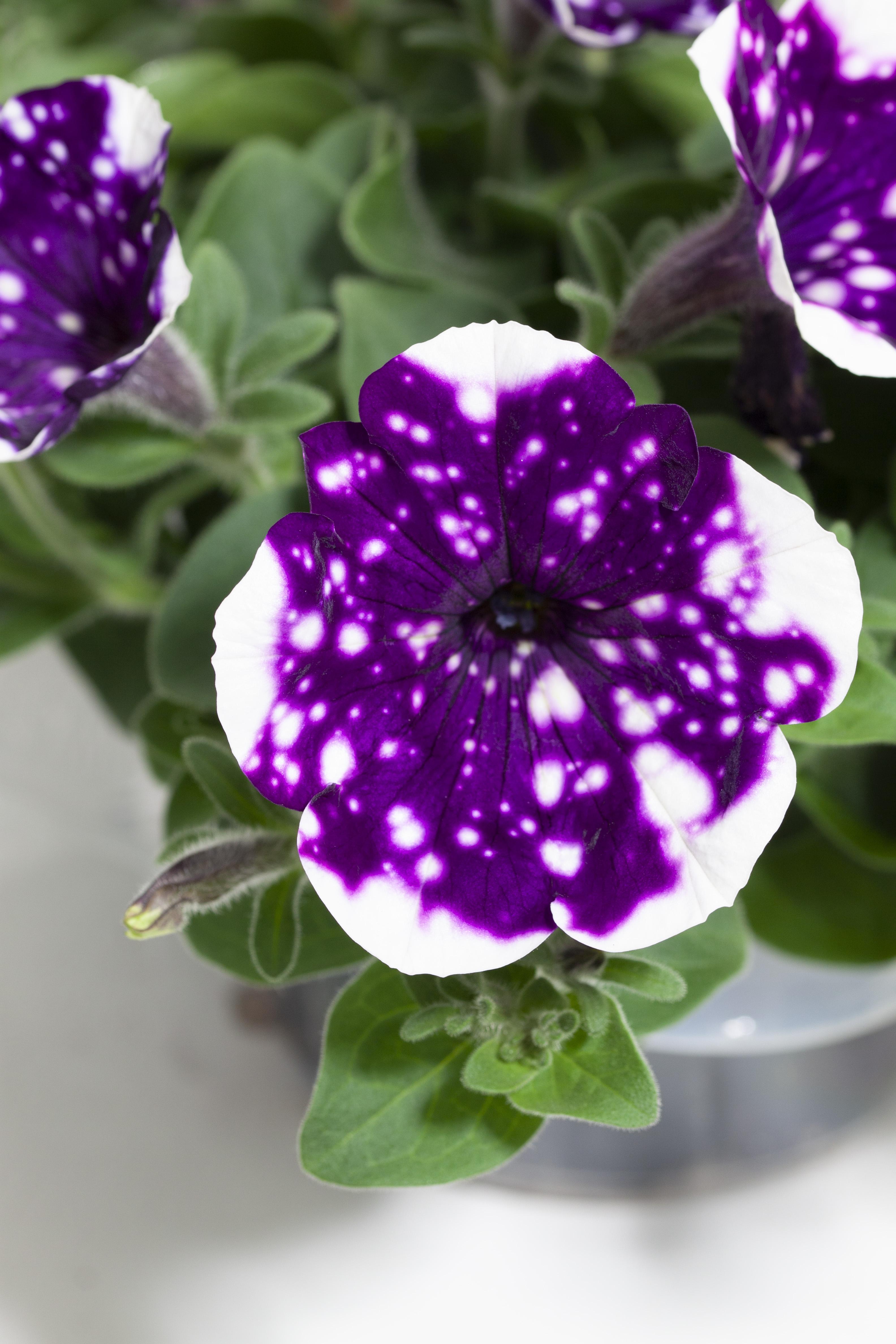 glaciersky-13 Petunia Blomsterfrämjandet