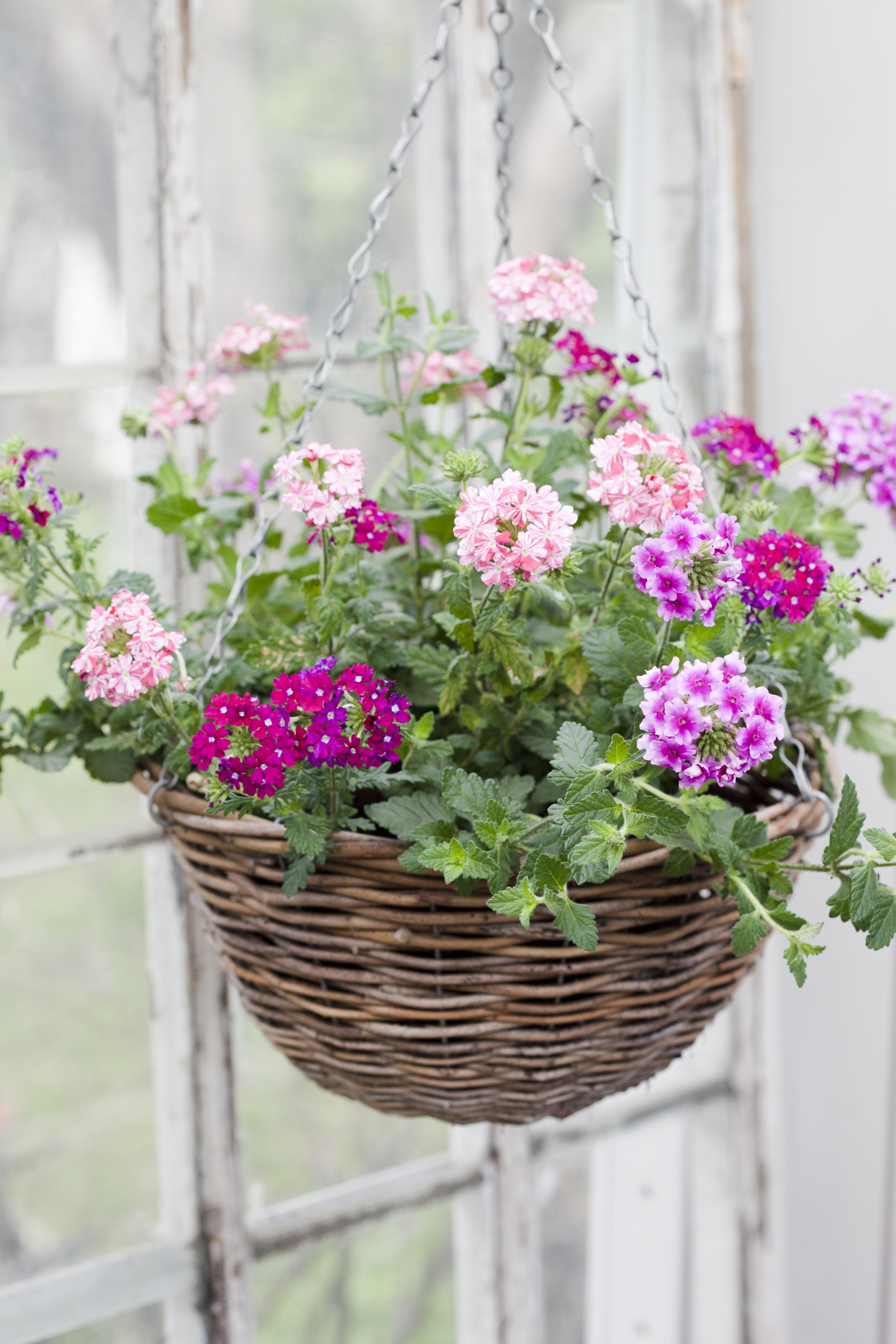 Trädgårdsverbena Blomsterfrämjandet